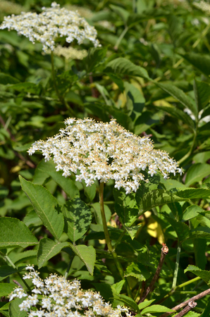 Ltere Blume weiße Blüten im Garten. Standard-Bild - 72068018