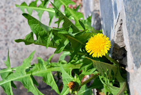 Dandelion flower growing from pavement