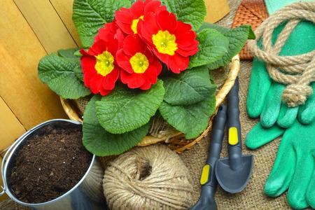 Blühende Frühlingsprimeln im Blumenbeet mit Rührstange, Schaufel, Gummihandschuhe. Standard-Bild - 76563663