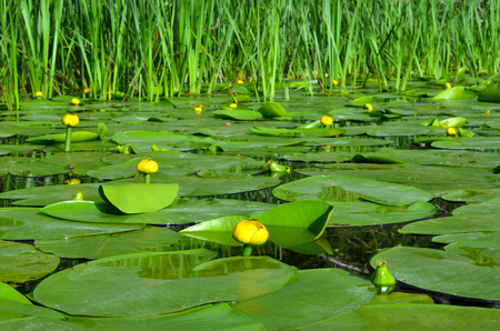 Water lily on the river Dnieper. Blossoming Water-lily.