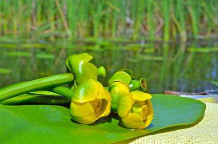 Seerose auf dem Fluss Dnieper. Blühende Seerose. Standard-Bild - 90306904