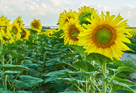Sunflowers blooming against a bright sky.Unseen Thailand flowers.