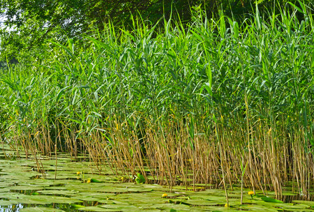 Green reeds on the river. Blossoming Water-lily.