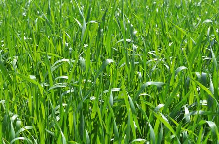 Wildes grünes frisches Gras, Nahaufnahme Standard-Bild - 95132969