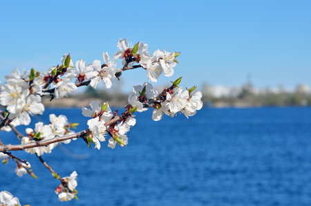 Spring nature background. Cherry blossoms against the blue sky.