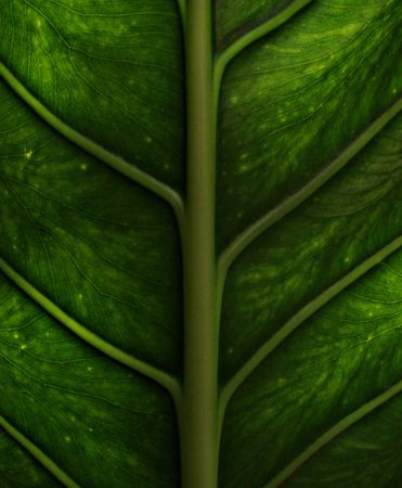 back light of green leaf