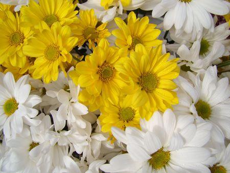 yellow and white daisy flowers fresh natural Stock Photo
