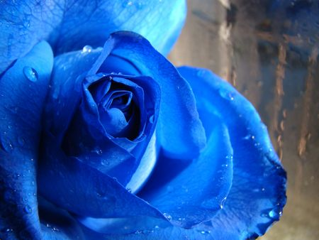 cultivated flower blue rose background in glass-bottom unfocused                             Stock Photo