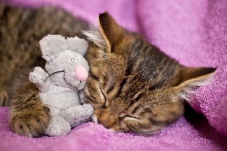 bobtail: Little sleeping cat kuril bobtail
