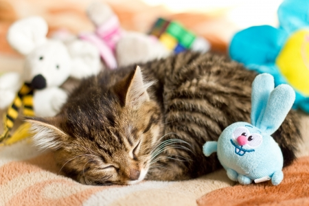 cat sleeping: Little cat sleeping  on bed with toys Stock Photo
