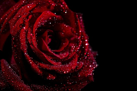 Red rose with water drops on black Stock Photo - 9214035