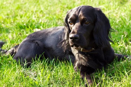 brown and black dog face: Portret of beautiful purebred cocker spaniel lying  on green grass Stock Photo