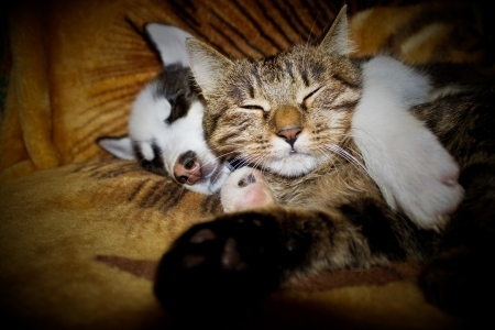 animals together: Sleeping puppy and kitten