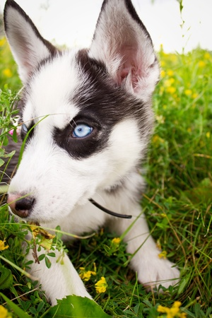 Purebred husky puppy on green grass photo