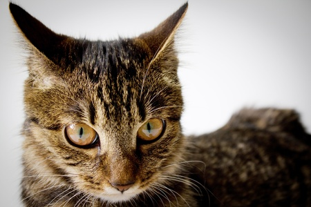 bobtail: Portrait of purebred kuril bobtail kitten