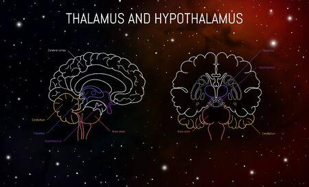 Thalamus and hypothalamus neuroscience infographic on space background. Human brain illustration. Brain anatomy structure cross section. Neurobiology scientific medical vector art.