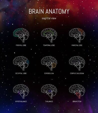 Neuroscience infographic on space background. Human brain lobes and sections illustration. Brain anatomy structure cross section. Neurobiology scientific medical vector in front of futuristic cosmos.