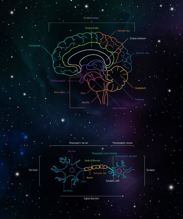 Brain lobes and neuron anatomy. Axons, dendrites, cell body, myelin and synaptic cleft. Neuroscience infographic on space background. Neurobiology scientific medical vector illustration. Иллюстрация