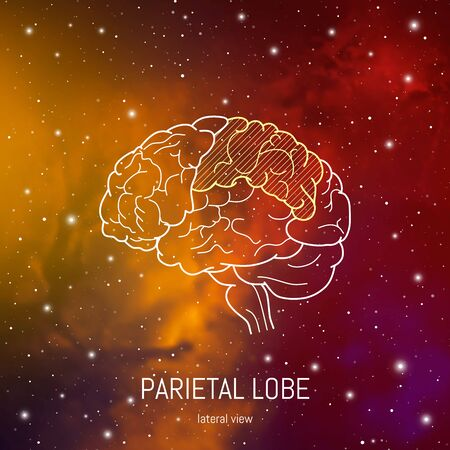 Brain structure. Cerebral cortex and lateral view of parietal lobe scientific medical neuro biology illustration in front of outer space futuritic background.