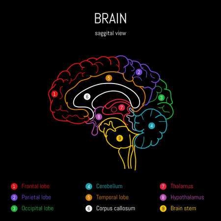 Neuroscience infographic on black background. Human brain lobes and sections illustration. Brain anatomy structure. Neurobiology scientific medical vector art