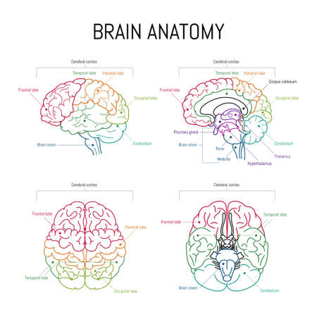 Minimal neuroscience infographic on white. Human brain lobes and functions illustration. Brain anatomystructure sections. Futuristic neurobiology scientific medical vector