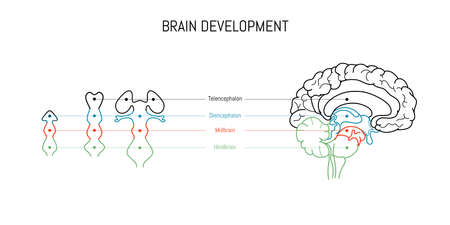 Neuroscience infographic on white background. Human brain evolution from embyo to adult . Brain vesicles and anatomy structure cross section. Neurobiology scientific medical vector Ilustração Vetorial