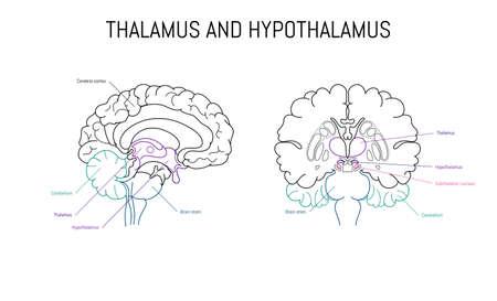 Thalamus and hypothalamus neuroscience infographic on white background. Human brain illustration. Brain anatomy structure cross section. Neurobiology scientific medical vector art
