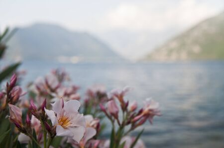 Oleander flower on blurred background. Bay of Kotor. Montenegro. Zdjęcie Seryjne