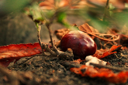 environmen: Chestnut is among the yellowi autumn leaves