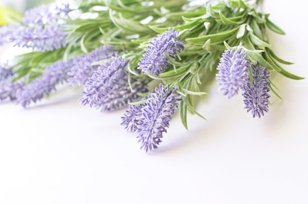 lavender coloured: Lavender branch isolated on a white background