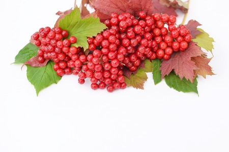 guelderrose: Guelder-rose berries with grean and red leaves on a white background