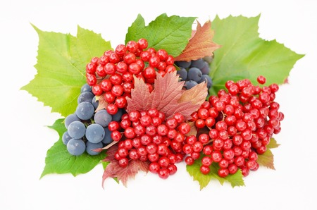 guelderrose: Guelder-rose red berries with grapes and green and red leaves on a white background Stock Photo