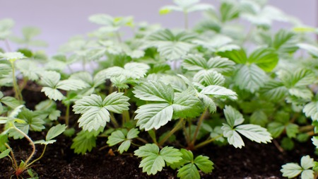 saplings: Young saplings of wild strawberry in the ground