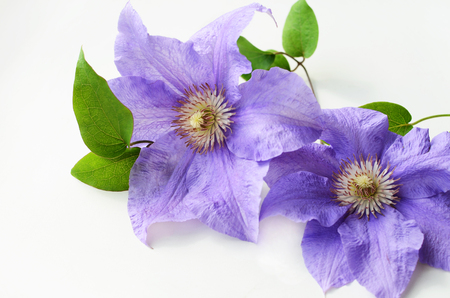 clematis flower: Purple clematis flower with green leaves on a white background