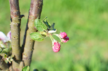 horisontal: apple-tree trunk with blossoming buds