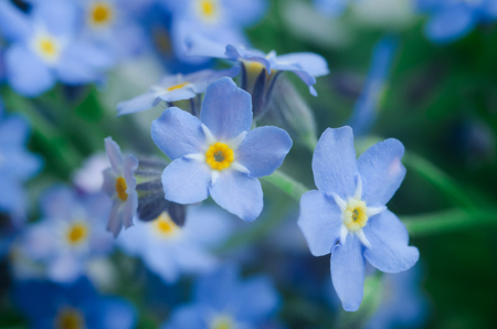 small fresh blue forget-me-not flowers close up