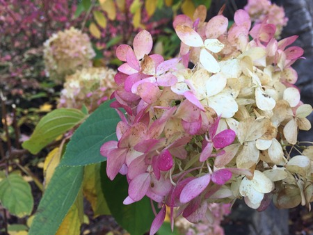 changing color: Changing color of Hydrangea