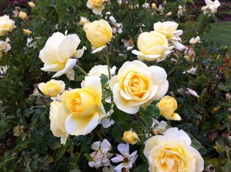rose-bush: rosebush rosal Zdjęcie Seryjne