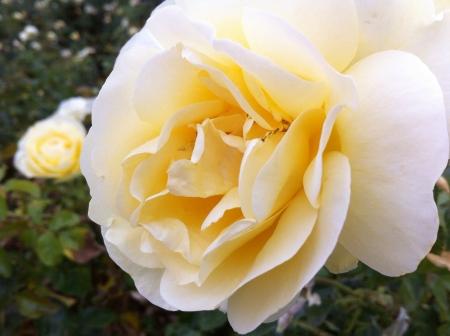 yellow rose rosa amarilla