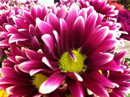 flowers crisantemos