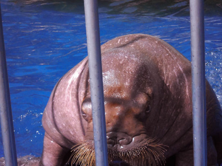 Closeup of a disgruntled walrus menacing looks from behind bars. His mustache bristling aggressively. In the background the blue water. Summer day.