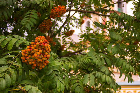 sorb: Orange clusters of mountain ash among green leaves. In the background is the cathedral. The background is blurred.