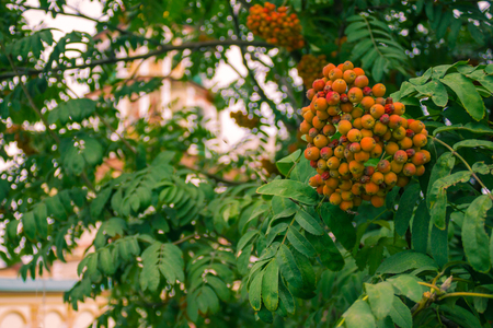 Orange clusters of mountain ash among green leaves. In the background is the cathedral. The background is blurred.