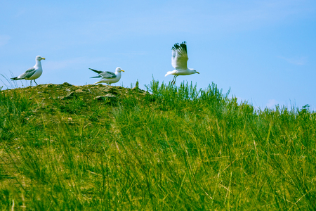 Three seagulls on a green hill. One has already taken off, another is preparing, the third is waiting. Sunny summer day. Clear sky.