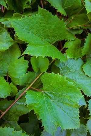 녹색 포도의 배경 나뭇잎. 전경에는 두 개의 커다란 잎이있는 대각선이 있습니다. 화창한 날, 여름. 스톡 콘텐츠