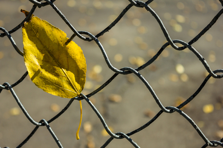 Autumn yellow leaf on a fence of a grid. Sunny day. Macro photography. The background is blurred.