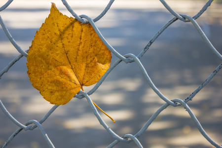 Close-up of a lonely yellow leaf stuck in the fence. Autumn in the city park. The background is blurred. Stock Photo