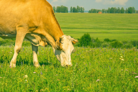A red cow is eating green grass in a wide meadow. Far horizon line, sky. Summer day, sunny lighting.