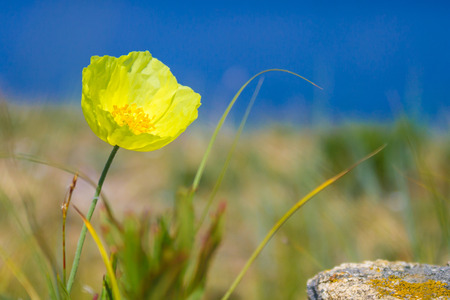 Close-up of a lone yellow flower, bloom, the background is blurred. Bright blue sky, around the steppe. Sunny summer day.