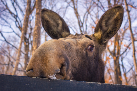 The big moose looks with an inquiring glance from behind the fence. In the background there are bare branches of trees, blue sky. Park, early evening, March. Stock Photo